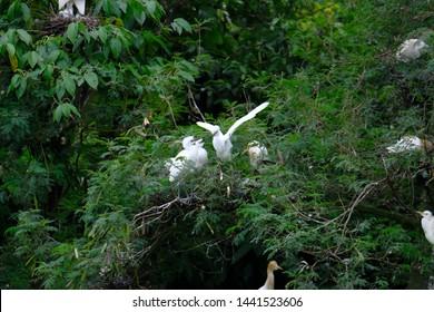wild birds community in Medan, Indonesia. Bird little egret - Egretta garzetta, Cattle Egret (Bubulcus ibis), black-crowned night-heron (nycticorax) in Medan, Indonesia
