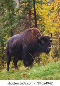 Wild bison in British Columbia, Canada