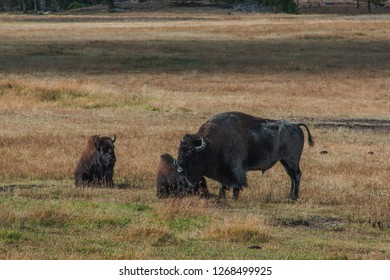 Wild Bison Family