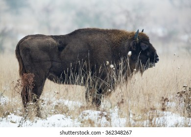 Wild bison in grassland with snow.
