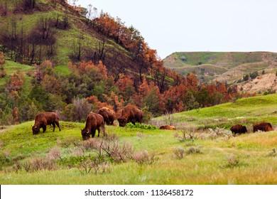 Wild Bison graze in Theodore Roosevelt National Park, North Dakota