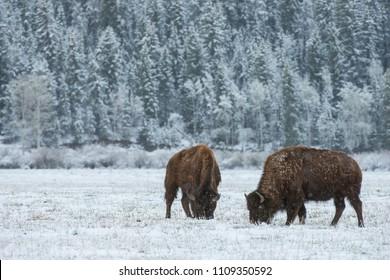 Wild Bison graze through snow in the Teton foothills of Wyoming