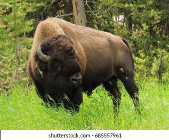 wild bison grazing in grass near fishing bridge in yellowstone national park, wyoming