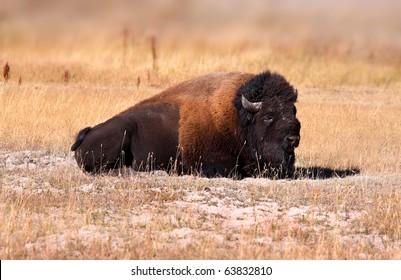 Wild Bison sitting in the Prairie landscape in yellowstone