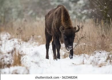 Wild bison walking in grassland with snow.