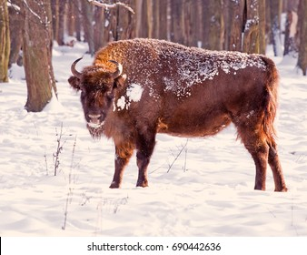 Wild bison in the winter forest among trees and snow.