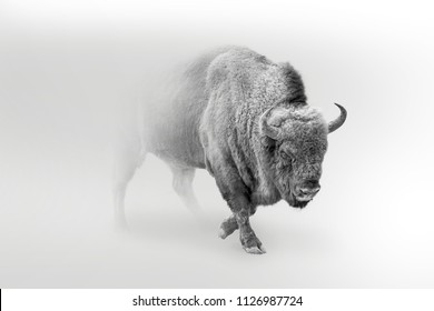 wild bison,buffolo walking out of the mist, digital wallpaper