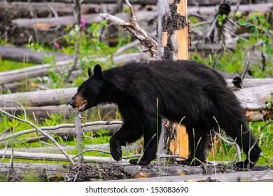 Wild Black Bear feeding on berries, Banff National Park Alberta Canada