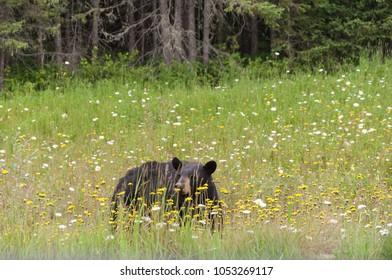 Wild black bear in grass  in north Ontario, Canada