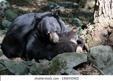 Wild black bear grooming her cub while he sleeps