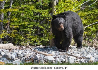 Wild black bear Jasper National Park Alberta Canada
