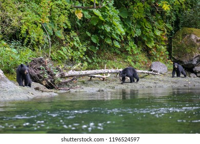 wild black bear mother with two cubs on the Rouge River in southern Oregon