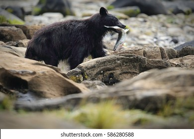 Wild Black Bear (Ursus americanus) fishing for salmon. Vancouver Island, British Columbia, Canada.