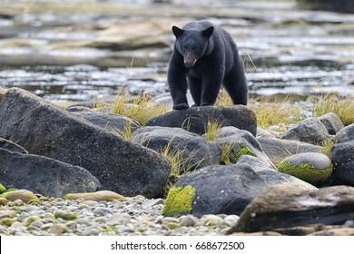 Wild Black Bear (Ursus americanus) on rocky beach clambering through the rocks. Vancouver Island, British Columbia, Canada.