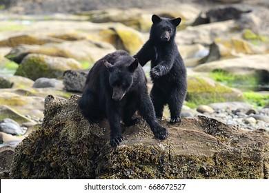 Wild Black Bear (Ursus americanus) and cub on a rocky beach. Vancouver Island, British Columbia, Canada.