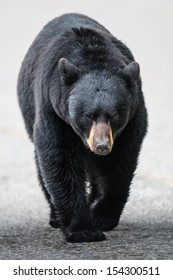 Wild Black Bear walking down a road, Jasper National Park Alberta Canada