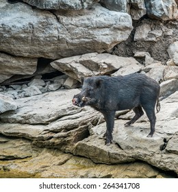 wild black boar stand on rock and riverside
