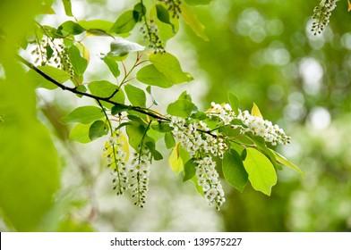 Wild black cherry (Prunus serotina) blossoms shine brightly in the spring sun.