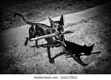 Wild black dog