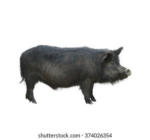 Wild Black Hog Isolated on White Background