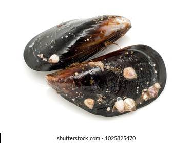 Wild black mussels