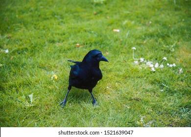 wild black raven on green grass in summer park closeup