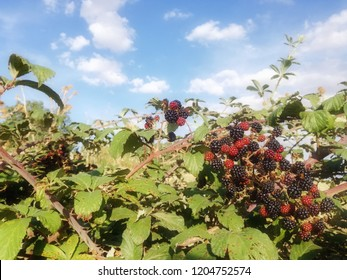 Wild black and red berries growing in the bush under the sun of Spain. Fruits of the blackberry, forest.