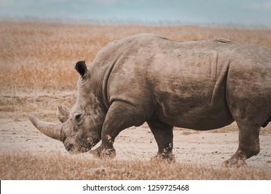 Wild Black Rhino