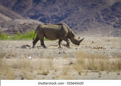 A wild black rhino in the Kaokoland walking on his own in the semi arid desert close to the Skeleton Coast Desert, Namibia