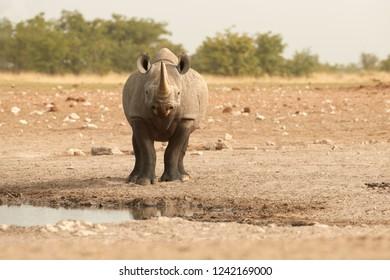 Wild black rhinoceros, Diceros bicornis, front view, dangerous animal staring at camera, standing on the rim of waterhole. Endangered animal, wildlife photography in Etosha, Namibia.