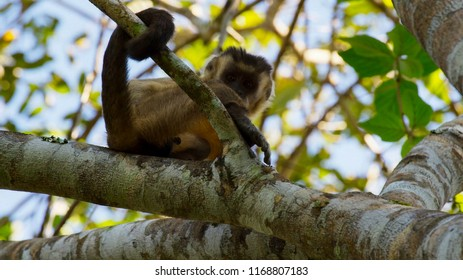A wild Black striped Capuchin (Cebus lebidinosus) also known as Bearded Capuchin, close up, against a blurred natural background, River Pixiam, Pantanal, Brazil
