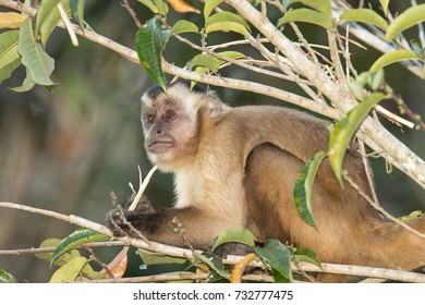 A wild Black striped Capuchin (Cebus lebidinosus) also known as Bearded Capuchin, part of the 'Tufted Capuchin' group of species, River Pixiam, Pantanal, Brazil