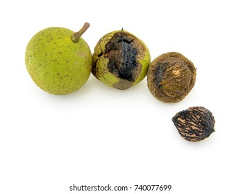 Wild black walnuts from the North American black walnut tree, Juglans nigra, in husk and out. Isolated on white