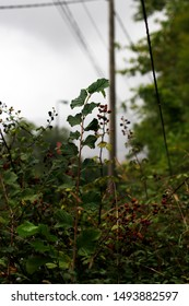Wild blackberries in a bramble plant
