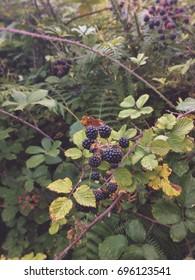 Wild blackberries in a forest / closeup