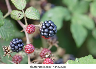 Wild blackberries from a portuguese meadow