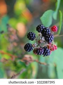 Wild blackberries in the slovenian forest