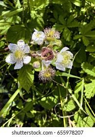 Wild blackberry blossom; differential focus