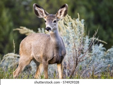 A wild black-tailed deer at Theodore Roosevelt National Park in North Dakota.