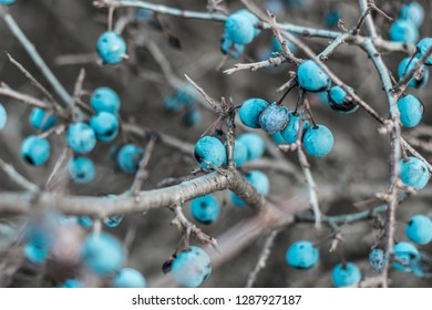 Wild blackthorn. Blue, ripe blackthorn berries on a branch in late autumn