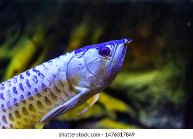 Wild Blood Golden Arowana Fish view in close up in an aquarium