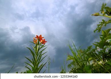 wild blooming orange lily flowers on beautiful blue Thunder Sky background. In Yakutia (Siberia), Lilium dahuricum, Lilium pensylvanicum called Saranka. Floral field with Red flowers. Bottom view