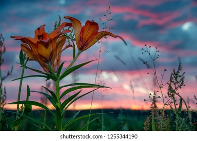 wild blooming orange lily flowers on beautiful blue and pink sky background. In Yakutia (Siberia), Lilium dahuricum, Lilium pensylvanicum called Saranka. Red flowers at sunset or sunrise