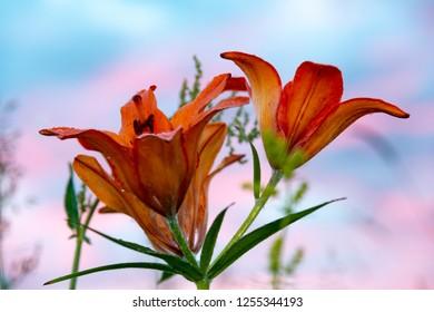 wild blooming orange lily flowers on beautiful blue and pink sky background. In Yakutia (Siberia), Lilium dahuricum, Lilium pensylvanicum called Saranka. Red flowers at sunset or sunrise. Closeup