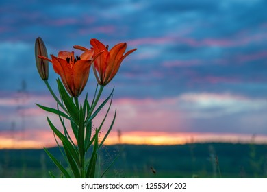 wild blooming orange lily flowers on beautiful blue and pink sky background. In Yakutia (Siberia), Lilium dahuricum, Lilium pensylvanicum called Saranka. Red flowers at sunset or sunrise or twilight