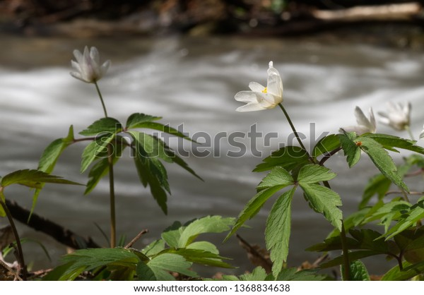Wild blooming plant Anemone nemorosa in the spruce forest next to the creek. Also known as wood anemone, windflower, thimbleweed, and smell fox. Natural environment, background blurred motion creek.
