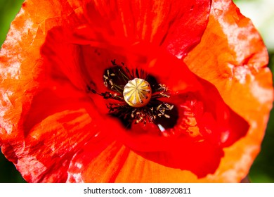 Wild blooming red poppy flower close up