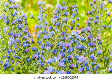 Wild blooming vibrant blue Echium vulgare flower plants in the field