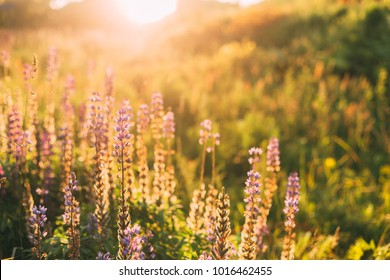 Wild Bloomy Flowers Lupine In Summer Spring Meadow Glade Field In Sunlight Of Sunset Sunrise. Lupinus, Lupin Or Lupine, Is A Genus Of Flowering Plants In The Legume Family, Fabaceae.
