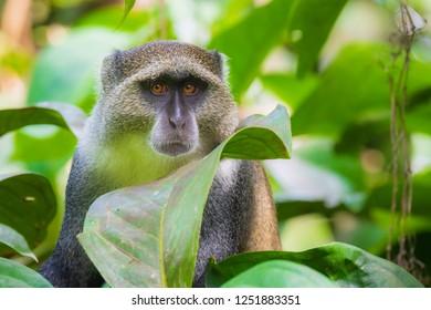Wild blue or diademed monkey Cercopithecus mitis primate foraging and moving in a evergreen montane bamboo jungle habitat. Jozani forest, Zanzibar, Tanzania.